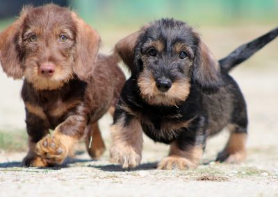 "cuccioli ""Q"" di Casa Mainardi"