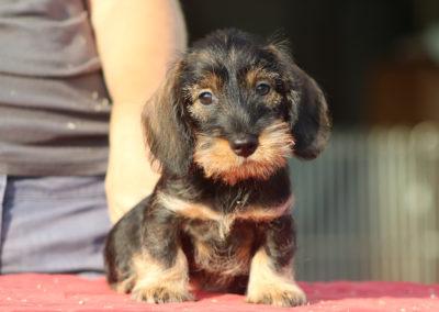 bassotto tedesco pelo duro forte ruvido taglia nana kaninchen nano cinghiale allevamento bassotti casa mainardi mantova cane cucciolo