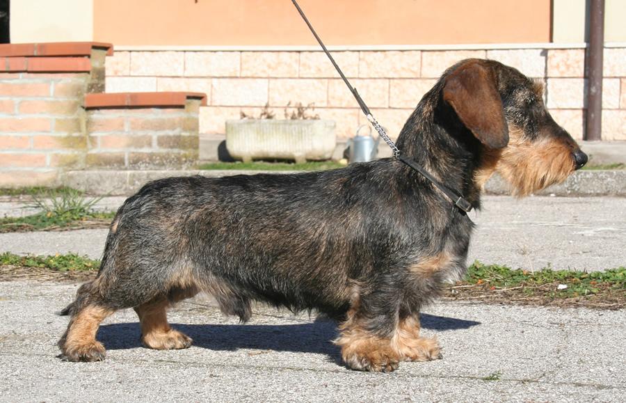 bassotto tedesco pelo duro ruvido nano taglia nana cinghiale allevamento cani bassotti tedeschi casa mainardi mantova