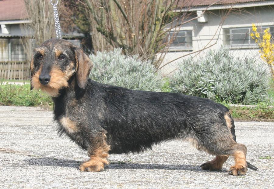 bassotto Tedesco pelo duro taglia kaninchen pelo forte ruvido cinghiale allevamento cani bassotti casa mainardi mantova
