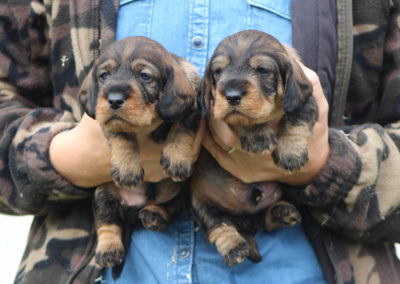 """cuccioli """"D"""" di Casa Mainardi - 20 giorni"""
