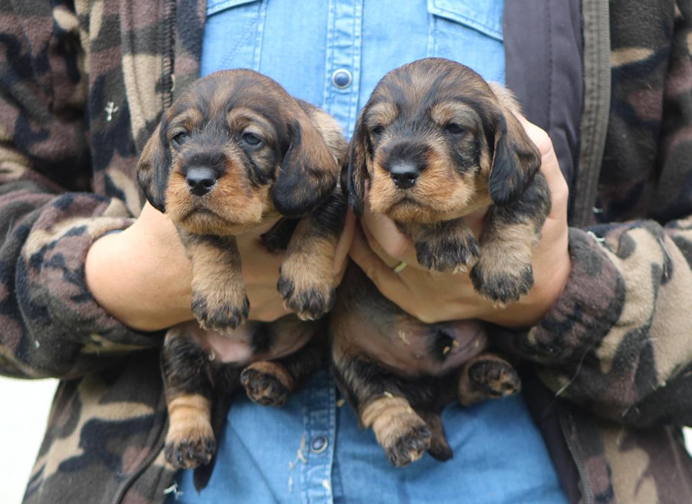 cucciolo cuccioli basstotto tedesco palo duro colore cinghiale taglia standard allevamento bassotti casa mainardi mantova