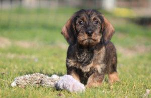 cucciolo bassotto tedesco taglia standard colore cinghiale pelo duro