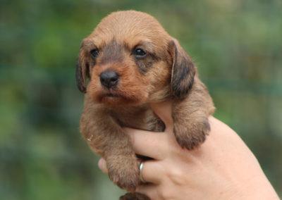 cucciolo bassotto tedesco pelo duro colore foglia secca taglia nana