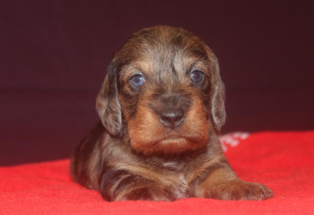 cucciolo bassotto tedesco nano pelo duro di colore arlecchino cinghiale